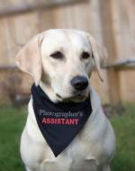 Assistant pet Bandana